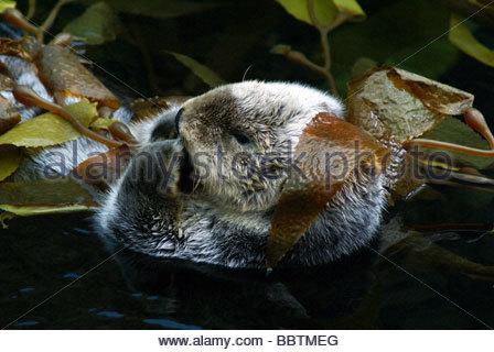 Sea Otter | Enhydra Lutris | Loutre de mer - Stockfoto