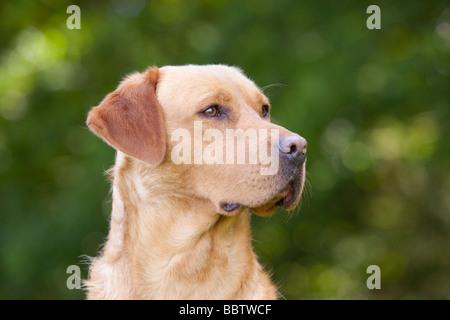 gelber Labrador Retriever Gebrauchshund - Stockfoto