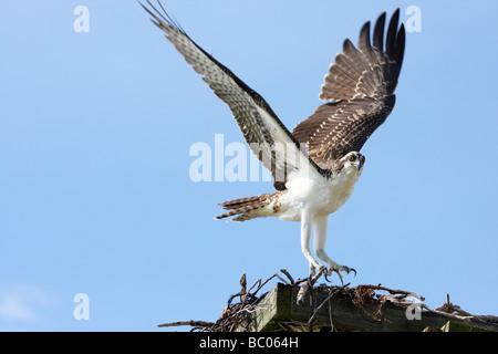 Fischadler landet auf dem Verschachtelung Plattform - Stockfoto