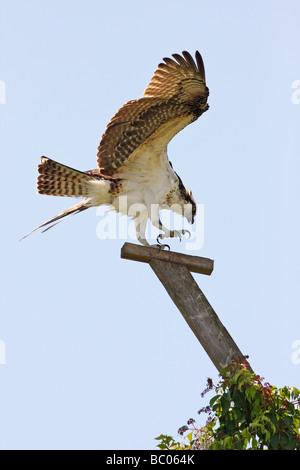 Landung auf Barsch Nisten Fischadler - Stockfoto