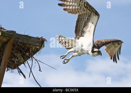 Fischadler fliegen von nistenden Plattform - Stockfoto