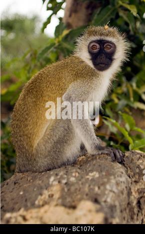 Vervet Affen - Tsavo-Nationalpark, Kenia - Stockfoto