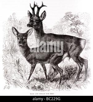 männliche und weibliche Rehe - Stockfoto