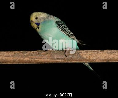 Wellensittich Melopsittacus Undulatus Erwachsenen hocken im studio - Stockfoto