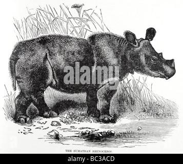 das Sumatra-Nashorn - Stockfoto