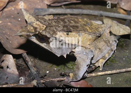 Bornean gehörnten Frosch, Megophrys nasuta - Stockfoto
