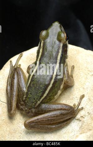 Die Rückseite des Green Paddy Frosch, Rana Saccharopolyspora, auch bekannt als Red Eared Greenback Frog oder gelb - Stockfoto