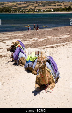 Kamele am Strand von Victor Harbour South Australia - Stockfoto
