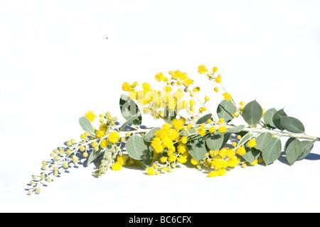 gelbe akazie im fr hling stockfoto bild 79026404 alamy. Black Bedroom Furniture Sets. Home Design Ideas