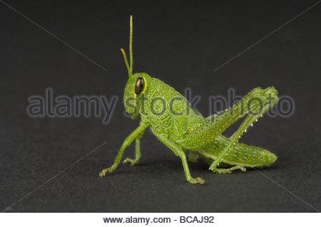 Eine obskure Vogel Grasshopper (Schistocerca Obscura) bei Prairie gefunden. - Stockfoto