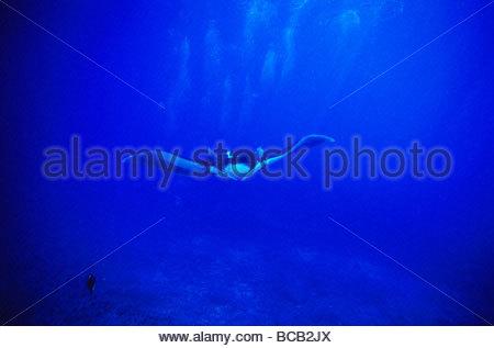 Riesigen Pazifik Mantarochen schwimmen über Riff, Manta birostris - Stockfoto