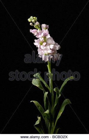Ein rosa Rittersporn (Delphinium Carolinianum). - Stockfoto