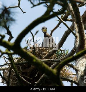 Junge große schwarze Kormoran Phalacrocorax Carbo im nest - Stockfoto
