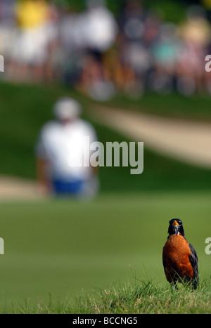 Ein Vogel sitzt auf dem Grün während die Reisenden Championship-Golf-Turnier in Cromwell CT USA - Stockfoto