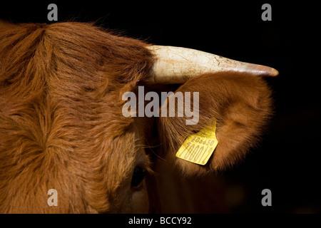Aberdeen Angus South Devon Cross Rinder - Stockfoto