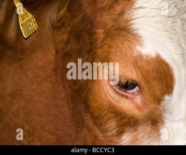 South Devon Cross Rinder - Stockfoto