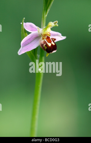 [Biene Orchidee], [Ophrys Apifera] wächst in Wildblumenwiese, UK - Stockfoto