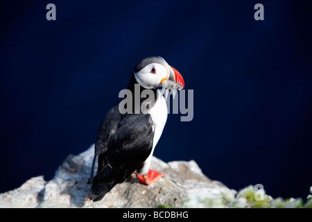 Papageitaucher Fratercula Arctica Grimsey Island am Polarkreis, Island - Stockfoto
