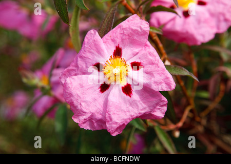 """Betty Taudevin' Lila blühenden Rock Rose, Zistrosen (Cistus x purpureus) - Stockfoto"
