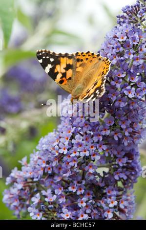 Vanessa cardui. Painted Lady butterfly Fütterung auf buddleja in einem englischen Garten