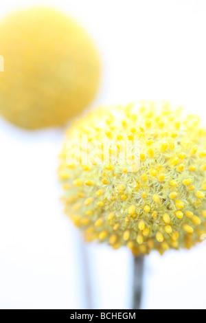 craspedia billy kugeln gelbe blume bl ht auf ein verschwommenes bild gr ner hintergrund. Black Bedroom Furniture Sets. Home Design Ideas