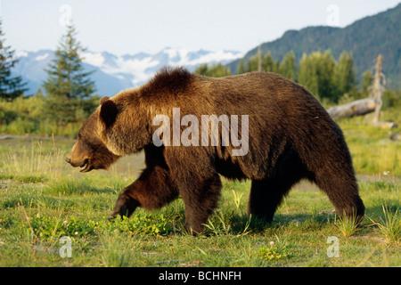 Braunbären Wandern in Wiese gefangen AK SC Sommer Großwild Alaska - Stockfoto