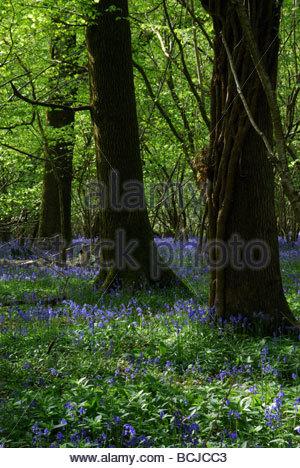 Bunte bluebells in Garston Holz an der Grenze von Dorset und Wiltshire, England, Großbritannien - Stockfoto