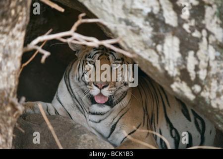 Tiger in der Höhle des Pench Tiger Reserve, Madhya Pradesh, Indien. (Panthera Tigirs) - Stockfoto