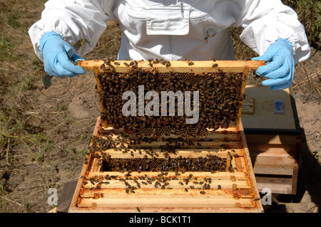 Biene-Keeper Inspektion eines nationalen Bienenstocks - Stockfoto