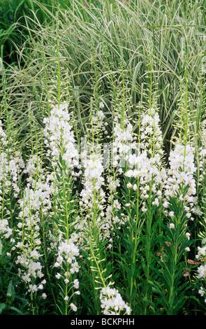 Epilobium Angustifolium var. Album und bunten Miscanthus Garten ...