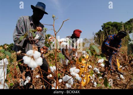 Westafrika Burkina Faso, Fairtrade und Bio-Baumwoll-Projekt, Mann und Frau Ernte Baumwolle auf der farm - Stockfoto