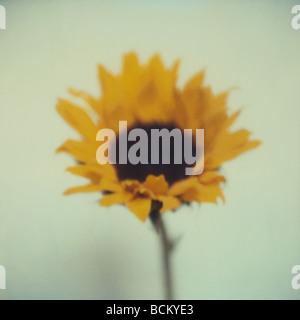 Sonnenblume - Stockfoto