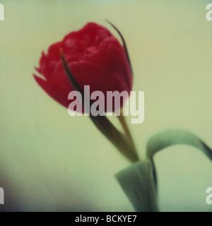 Rote Tulpe - Stockfoto