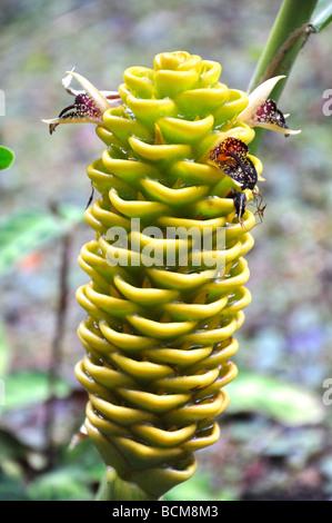 Bienenstock Ingwer in einem tropischen Regenwald, Hawaii - Stockfoto
