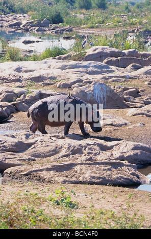 Nilpferd - zu Fuß / Hippopotamus Amphibius - Stockfoto