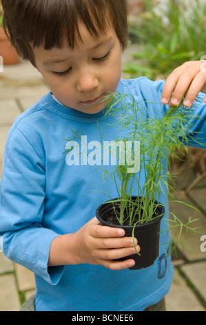 Ein sechs Jahre alter Junge durchlöchern junger Fenchel Sämlinge in den Garten, England, UK - Stockfoto