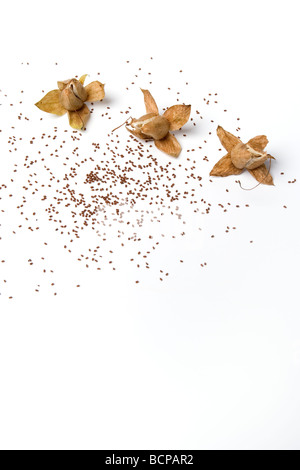 Getrocknete Digitalis Seedheads mit Samen - Stockfoto