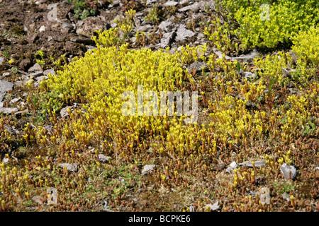 Beißen, Mauerpfeffer aka goldenen Teppich, Wand Pfeffer oder Gold Moss, wachsen Sedum Acre, Crassulaceae, auf Abfall - Stockfoto