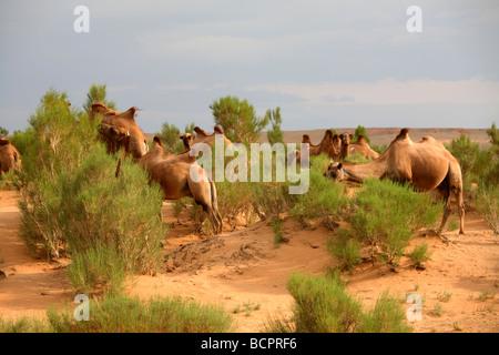 Kamele, die Beweidung in der Gobi Baum-Saxaul Wald, South Gobi, Mongolei - Stockfoto