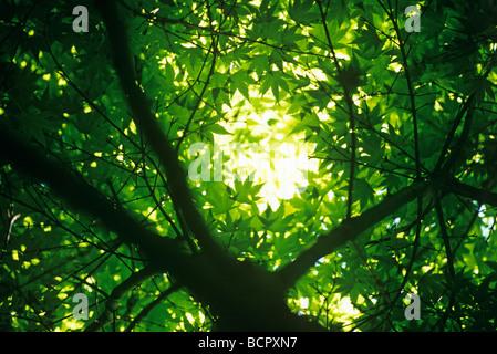 Acer Palmatum japanischer Ahorn - Stockfoto