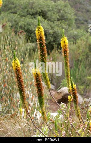 Aloe Alooides Blüten in Kirstenbosch - Stockfoto