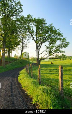 Weidevieh auf Landstraße in Swoope Shenandoah Valley Virginia - Stockfoto