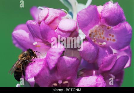 Honig Biene Apis Mellifera Erwachsenen Trinken aus Texas Salbei Leucophyllum Frutescens Lake Corpus Christi Texas - Stockfoto