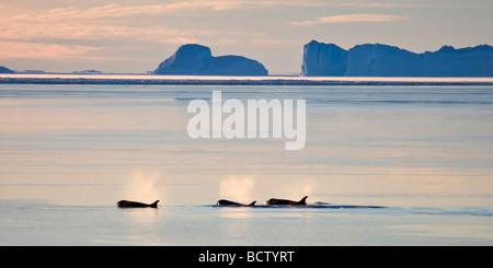 Orcas in der Polarnacht, in der Nähe von Mawson abfahrende, Antarktis - Stockfoto