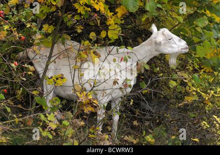 Hausziege, Deutsch verbessert weiße Ziege (Capra Aegagrus Hircus). Weiblich, Essen fährt von einem Busch - Stockfoto