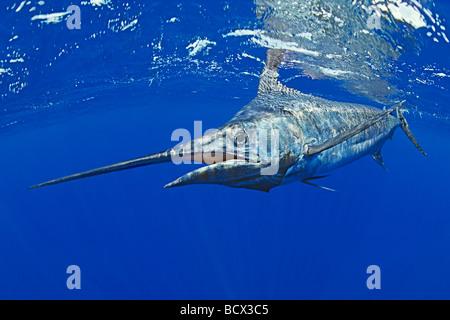 Blauer Marlin, Makaira Nigricans Kona Küste Big Island Pacific Ocean Hawaii USA - Stockfoto