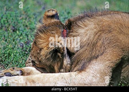 Afrikanische Löwe Panthera Leo mit einem Wilderer Snare Draht ...
