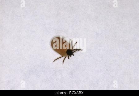 Castor Bean Zecke (Ixodes ricinus) auf Papier - Stockfoto