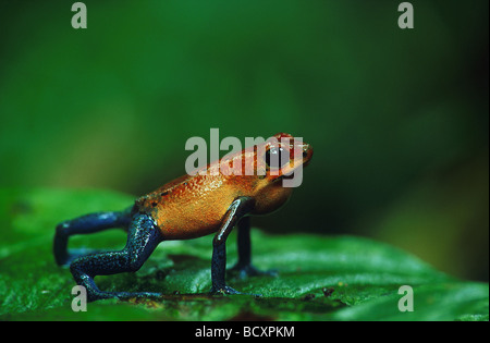 Dendrobates Pumilio / Strawberry Poison Arrow Frog - Stockfoto