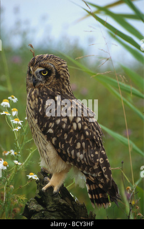 ASIO Flammeus / Short-eared Eule - Stockfoto